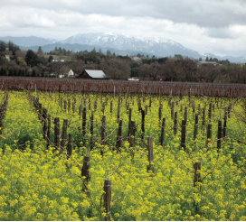 The snow-capped Mayacamas